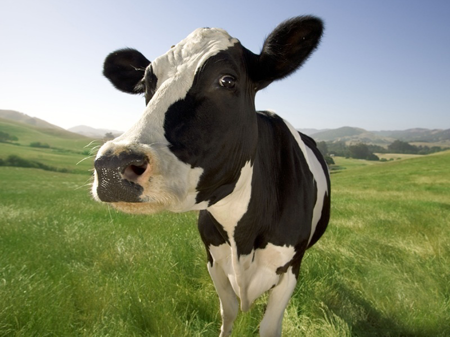 Cow weight-guessing and why community engagement matters